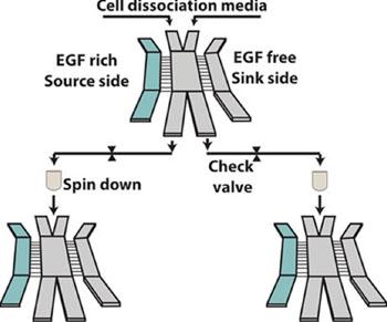 Imagen: Esquema del dispositivo de microfluidos que clasifica las células de cáncer agresivas (Fotografía cortesía del laboratorio Reinhart-King).