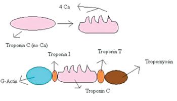Imagen: La troponina T se une a la tropomiosina y la ayuda a posicionarla en la actina, mientras que el resto del complejo de troponina modula una contracción del músculo estriado. En los pacientes con enfermedad arterial coronaria estable, se ha encontrado que las concentraciones de troponina T se asocian de manera significativa con la incidencia de muerte cardiovascular y falla cardiaca (Fotografía cortesía de Wikimedia Commons).