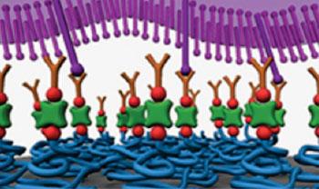 Imagen: Un nuevo dispositivo en nanoescala, tipo velcro, captura y libera células tumorales circulantes que se han desprendido de los tumores primarios y están circulando en el torrente sanguíneo. Esta nanotecnología podría ser usada para el diagnóstico del cáncer y da una visión sobre los mecanismos de como el cáncer se disemina por todo el cuerpo (Fotografía cortesía del Instituto de Ciencias Avanzadas RIKEN).