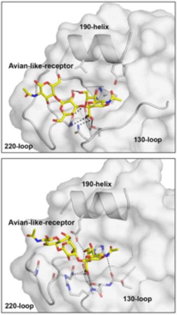 Imagen: Un nuevo análisis sugiere que dos virus mortales de la gripe, las variantes de los subtipos H10N8 y H6N1, no han adquirido cambios que les permitan infectar fácilmente a las personas (Fotografía cortesía del Instituto de Investigación Scripps).