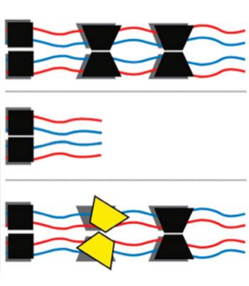 Imagen A: Un resumen ilustrado de la función del producto del gen AIRE y su conexión a un grupo de trastornos autoinmunes con el que se ha descubierto que está relacionado. El gen AIRE se expresa en una población rara del timo, donde es fundamental para educar a las células inmunes, llamadas células T, para discriminar entre los invasores extranjeros y las propias proteínas del cuerpo. Normalmente (arriba) AIRE opera en la forma de un complejo formado por cuatro cadenas idénticas. Cuando ambas copias del gen AIRE están mutados (recesivo), el complejo resultante (mitad) es disfuncional y los pacientes sufren de trastornos autoinmunes graves. Cuando hay mutaciones específicas en una sola copia (dominante, abajo), todavía se puede interrumpir la función de la proteína y los individuos pueden desarrollar trastornos autoinmunes presentando diferentes niveles de gravedad (Fotografía cortesía de Instituto Weizmann de Ciencia).
