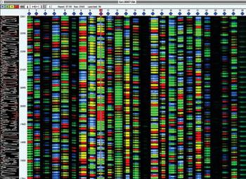 Imagen: El resultado final de un proceso de secuenciación del ADN, con cada color representando uno de los cuatro productos químicos básicos, adenina, guanina, citosina y timina, que conforman el ADN (Fotografía cortesía de Gerald Barber).