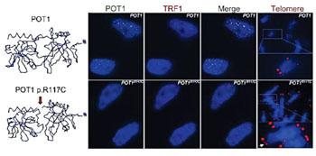 Imagen: La sustitución del aminoácido arginina por una cisteína en la posición 117 del POT1p.R117C produce cambios en la conformación de la proteína que son incompatibles con una conexión eficiente a los telómeros, lo cual induce un alargamiento aberrante de los telómeros y hace que los telómeros de las células mutadas sean frágiles (Fotografía cortesía del CNIO).